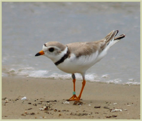 Photo: Piping Plover in Ontario