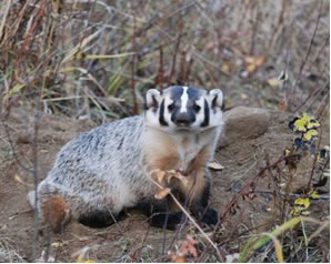 Photo of the American Badger (see long description below).
