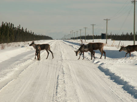 Caribou boréal. Photo : © A. David M. Latham