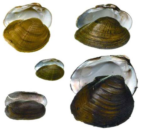 Clockwise from upper left: male Northern Riffleshell, male Snuffbox, Round Pigtoe, Mudpuppy Mussel, male Rayed Bean (centre). Images courtesy of Environment Canada.