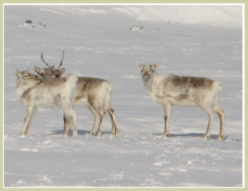 Photo de caribou de Dolphin-et-Union