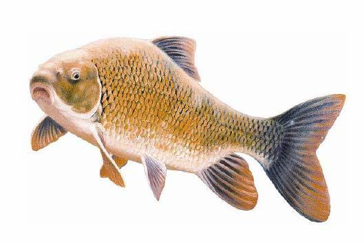 Copper Redhorse, Moxostoma hubbsi, designated Endangered by COSEWIC in November 2004. Illustration by Ghislain Caron, Rescousse Project, La Prairie, Quebec.