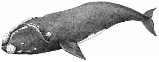 Cover Illustration: Line drawing of the North Atlantic Right Whale, by Judie Shore, Richmond Hill, Ontario.