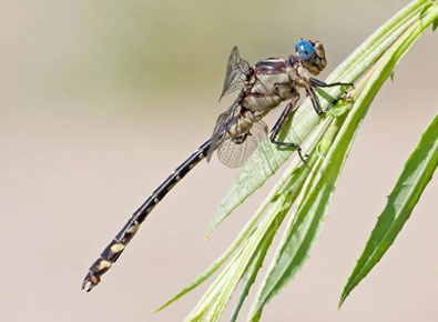 Photo of a male Olive Clubtail (lateral view).