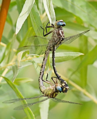 Photo of a copulating pair of Olive Clubtails.