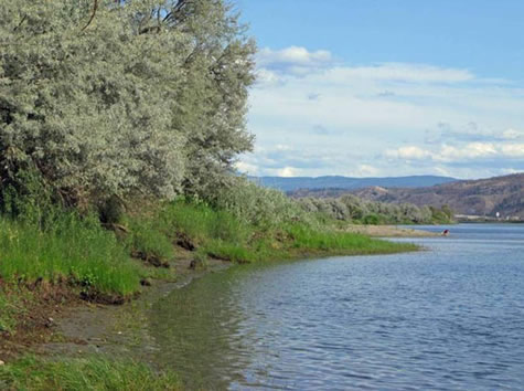 Photo: Robert A. Cannings. Photo of a section of the north bank of the South Thompson River at Stobbart Creek, Kamloops, British Columbia. The main tree species is the introduced Russian olive.