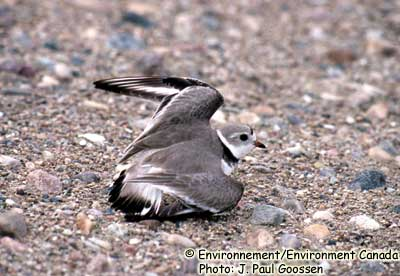 Plover circumcinctus subspecies, Piping