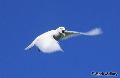 Ivory Gull Endangered Image of Ivory Gull