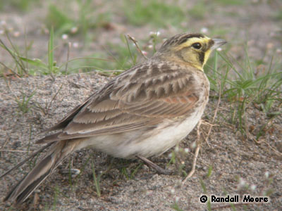 Horned Lark strigata subspecies Photo 1